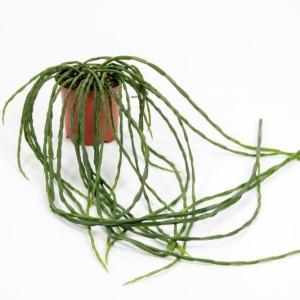 Rhipsalis paradoxa (Gasa DK)