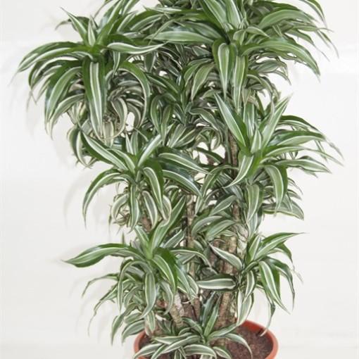 Dracaena fragrans 'Kanzi' (Ammerlaan, The Green Innovater)
