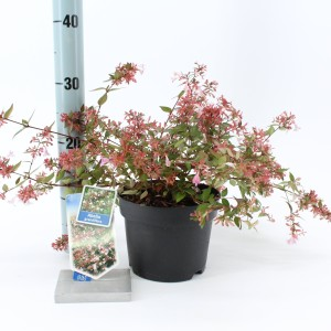 Abelia x grandiflora (About Plants Zundert BV)