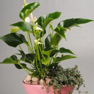 Arrangements Anthurium 'ANCR-1721' (Mixt Creation BV)