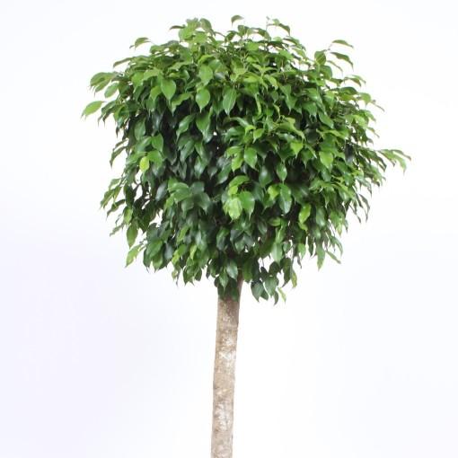 Ficus benjamina (Fachjan)
