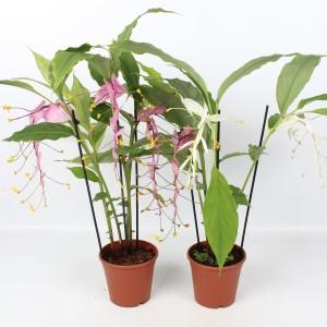 Globba winitii (Lansbergen Orchideeën)