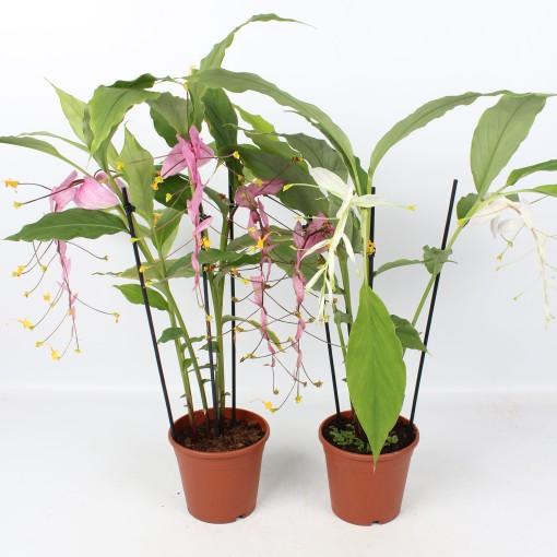 Globba winitii (Lansbergen Orchids)