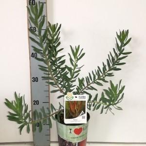 Leucadendron 'Tonia'