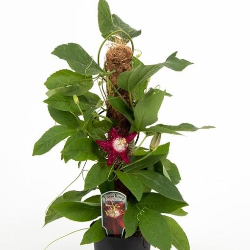 Passiflora 'Lady Margaret' (Gasa DK)
