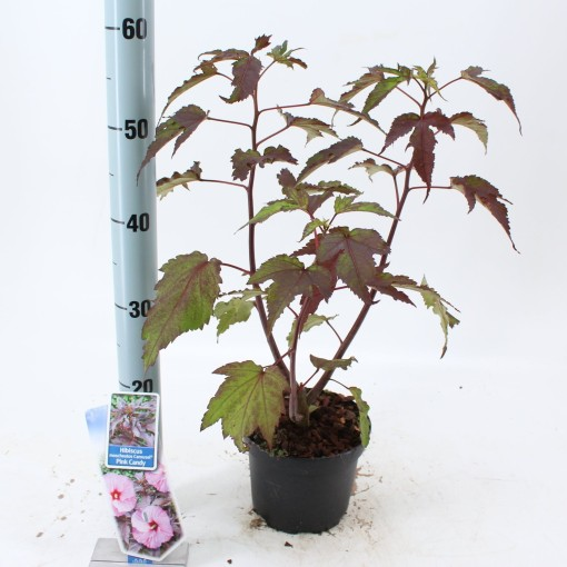 Hibiscus moscheutos CAROUSEL PINK CANDY (About Plants Zundert BV)