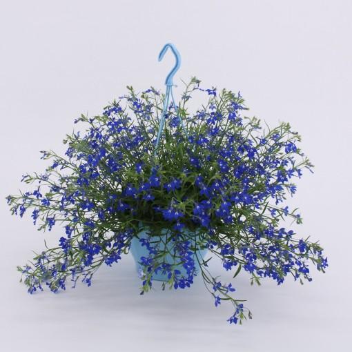 Lobelia erinus HOT BLUE (Kwekerij Baas)