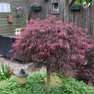 Acer palmatum 'Garnet' (Son & Koot BV)