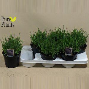 Lavandula angustifolia 'Essence Purple' (Kwekerij den Deyl)