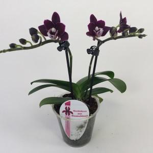 x Doritaenopsis 'Little Black Pearl' (Wichmann Orchideen e.K.)