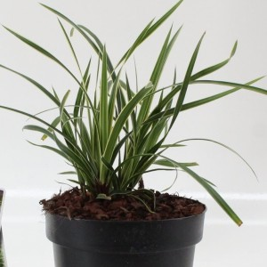 Carex morrowii 'Ice Dance' (About Plants Zundert BV)