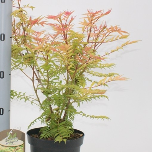 Sorbaria sorbifolia 'Sem' (About Plants Zundert BV)