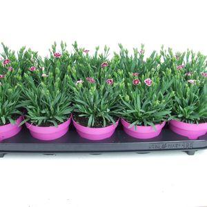 Dianthus PINK KISSES (Kwekerij Scholte)