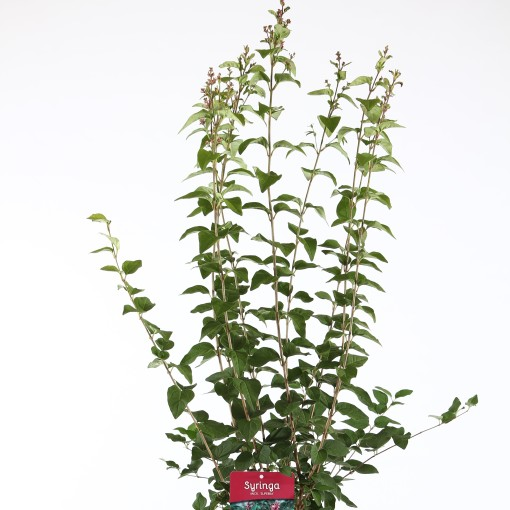 Syringa microphylla 'Superba' (Boomkwekerij Ronald Roos B.V.)