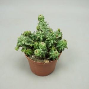 Euphorbia horrida cristata