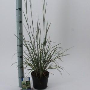 Schizachyrium scoparium 'Standing Ovation'