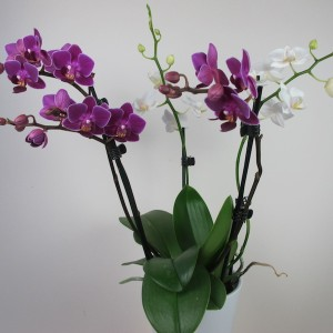 x Doritaenopsis 'Confetti'