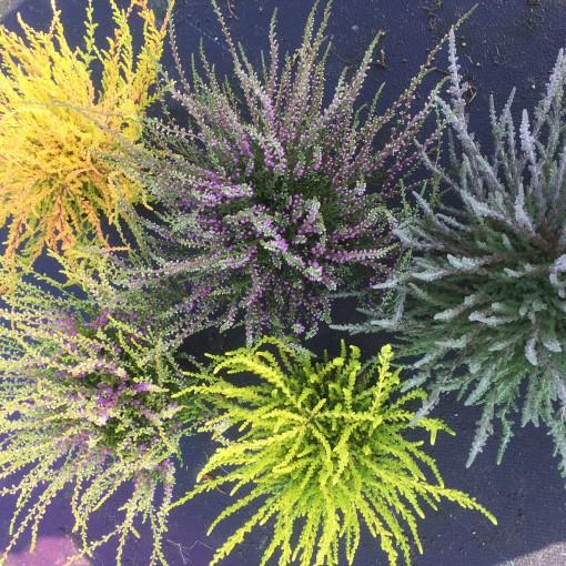 Calluna vulgaris MIX (Experts in Green)