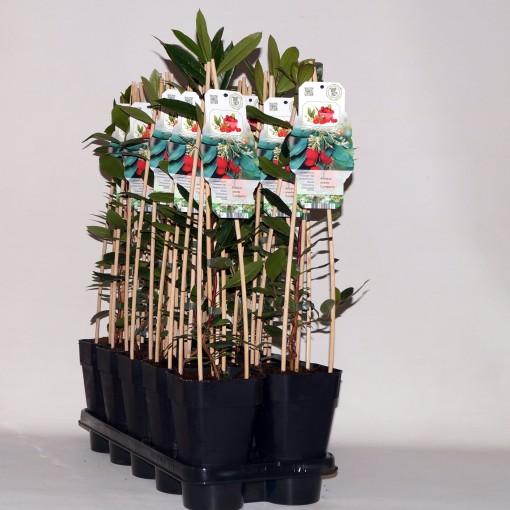 Arbutus unedo 'Compacta' (BOGREEN Outdoor Plants)
