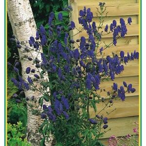Aconitum henryi 'Spark's Variety' (Gebr. Griffioen)