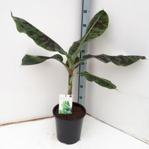 Musa acuminata 'Dwarf Cavendish'