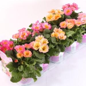 Primula vulgaris 'Girl's Delight'
