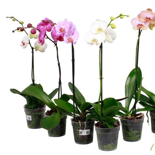 Phalaenopsis MIX (Stolk Orchids)
