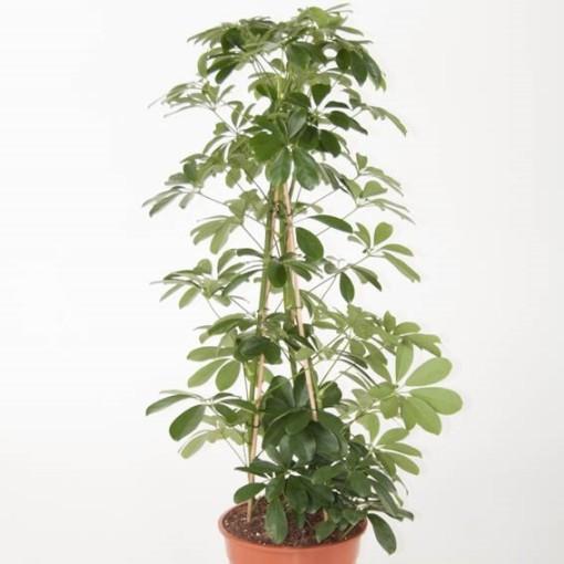 Schefflera arboricola 'Compacta' (Ammerlaan, The Green Innovater)