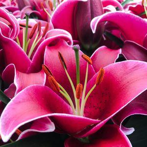 Lilium 'Sunny Keys' (Wetering Potlilium)