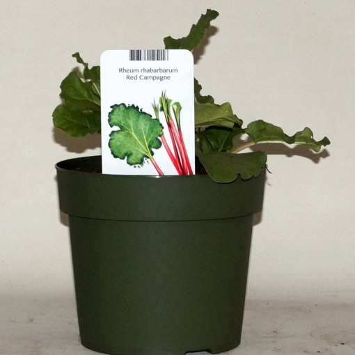 Rheum rhabarbarum 'Red Champagne' (BOGREEN Outdoor Plants)