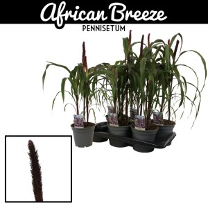Pennisetum 'Purple Baron' (Vreugdenhil Bulbs & Plants)