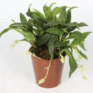 Promenaea 'Sunlight' (Lansbergen Orchideeën)