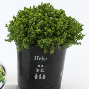 Hebe 'Emerald Gem' (About Plants Zundert BV)