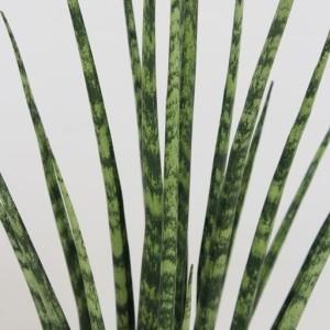 Sansevieria bacularis 'Fernwood Mikado' (Fachjan)