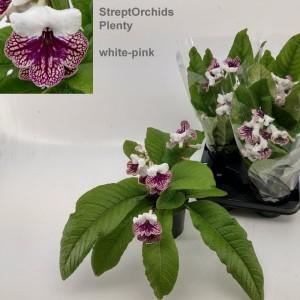 Streptocarpus 'Plenty' (Hofstede Hovaria)