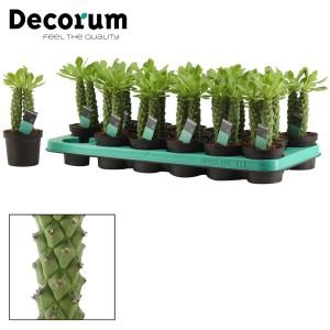 Euphorbia neorubella
