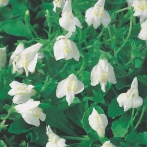 Mazus reptans 'Albus' (Moerings Waterplanten)