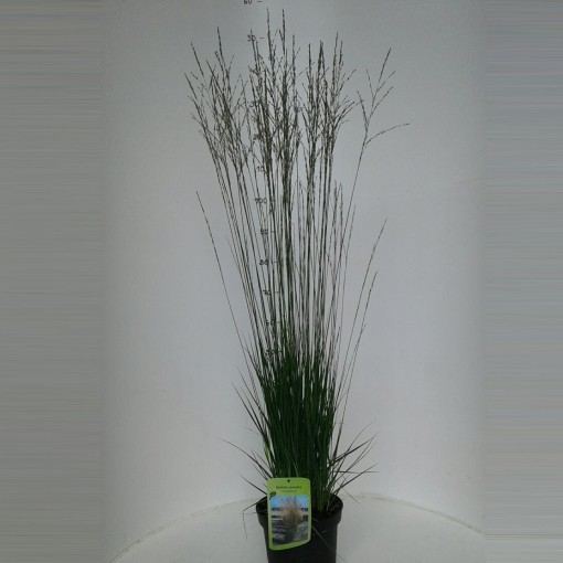 Molinia caerulea 'Heidebraut' (About Plants Zundert BV)