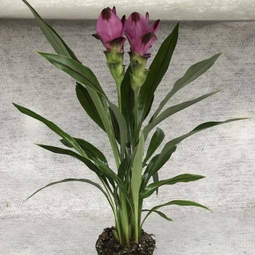 Curcuma alismatifolia (Gasa DK)