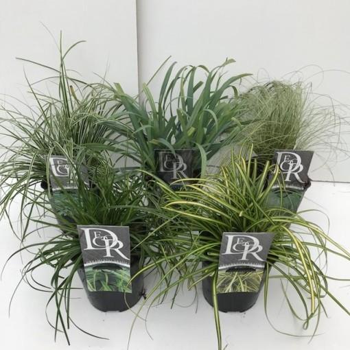 Carex MIX (Cammeraat Potcultuur)