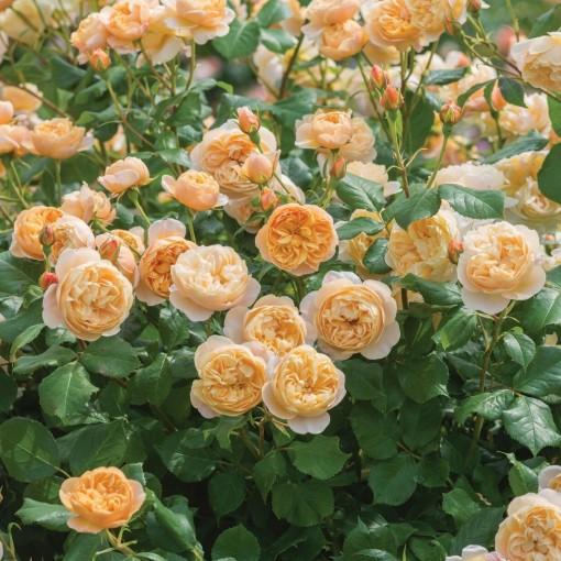 Rosa ROALD DAHL (Lakei Boomkwekerijen)