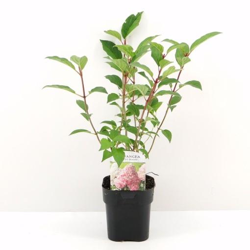 Hydrangea paniculata VANILLE FRAISE (Hooftman boomkwekerij)