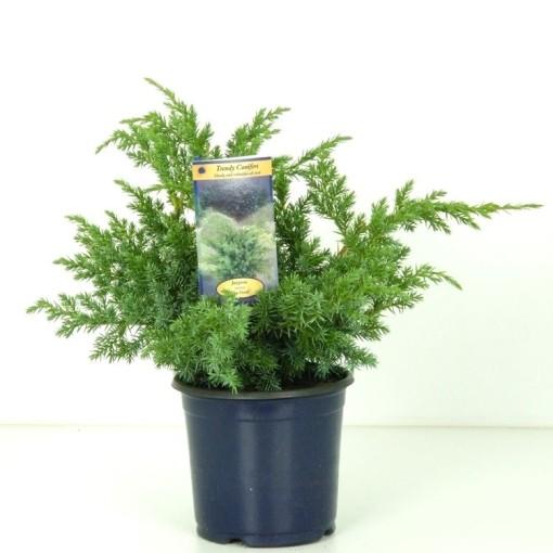 Juniperus squamata 'Blue Swede' (Vredebest, Kwekerij )