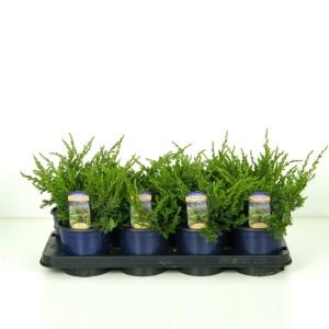 Juniperus communis 'Repanda' (Vredebest, Kwekerij )