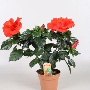 Hibiscus rosa-sinensis PREMIERE (Vireõ Plant Sales)