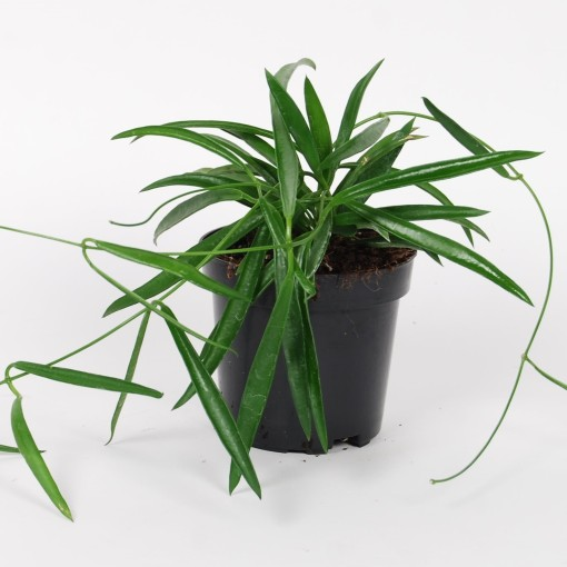 Hoya shepherdii (Van der Arend Tropical Plantcenter)