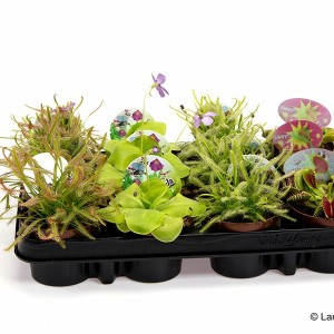 Carnivorous plants MIX