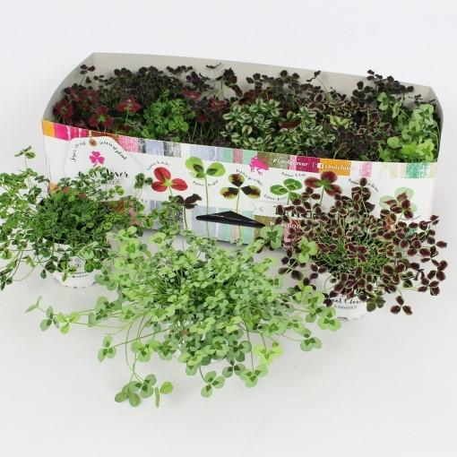 Trifolium repens MIX (Elstgeest)