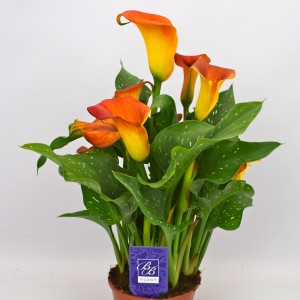 Zantedeschia 'Captain Fuego'