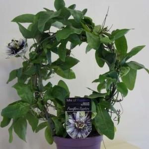 Passiflora 'Sapphire' (Plantcare BVBA)